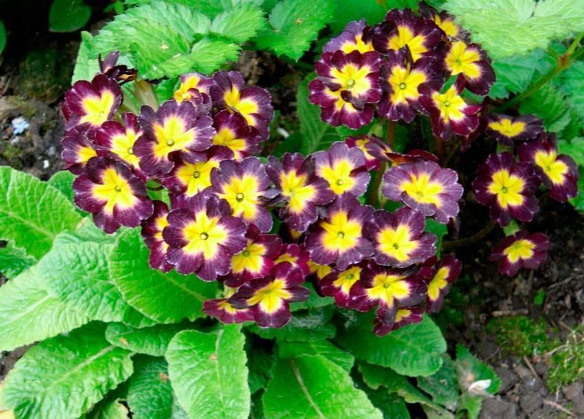 Примула из семян многолетняя: бесстебельная потсдамские гиганты, ушковая, колоссеа, махровая розанна, посев, посадка, выращивание и уход в домашних условиях, фото