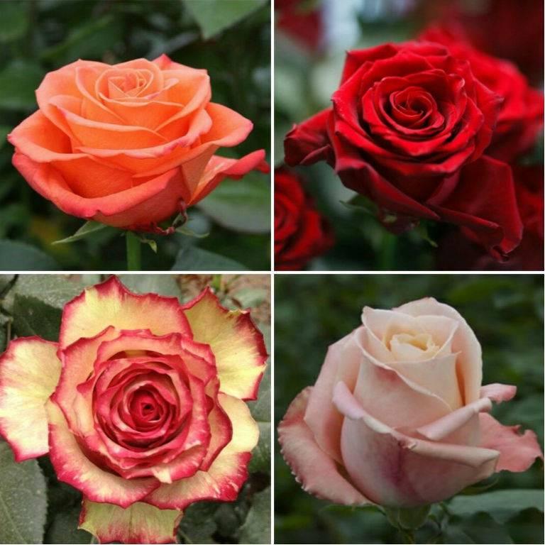 Описание розы кроун принцесса маргарет: что это за английский парковый сорт, уход