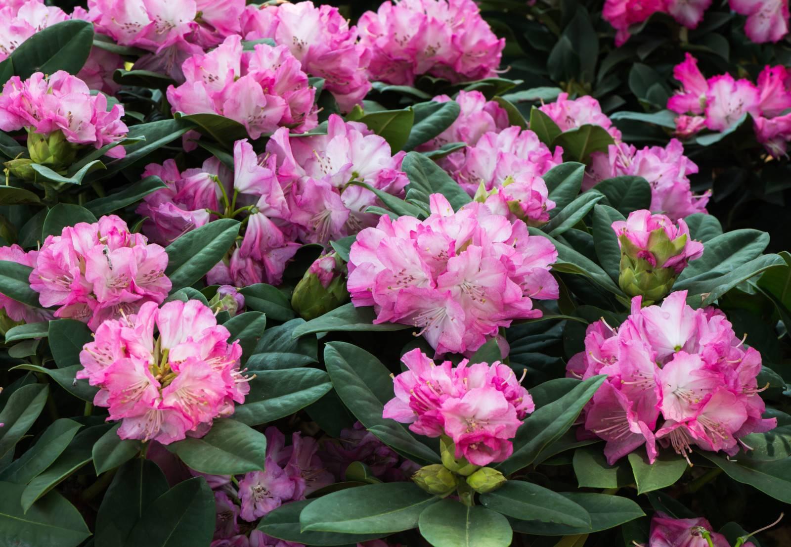 Рододендрон: посадка и уход, выращивание из семян