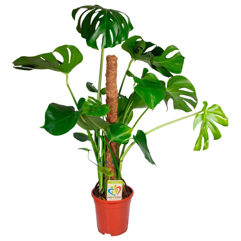 Монстера (плакса) уход в домашних условиях | комнатные растения фатера