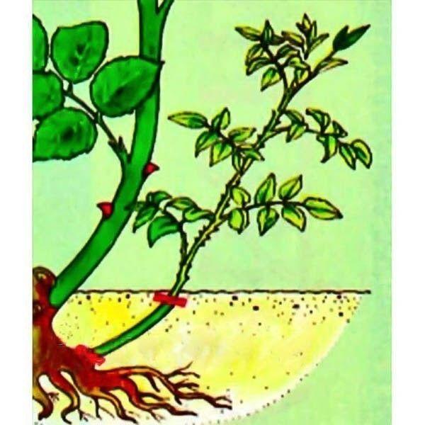Причины перерождения розы в шиповник
