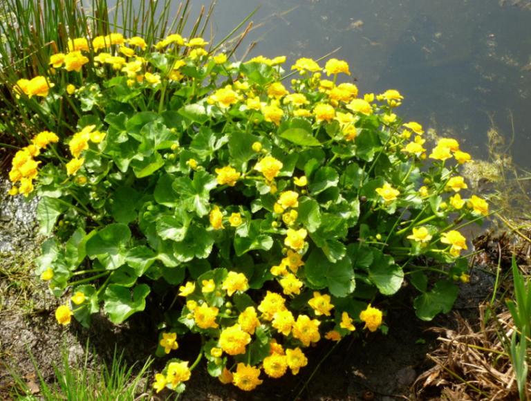 Кустарник вейгела цветущий: посадка, уход, размножение, декоративные свойства