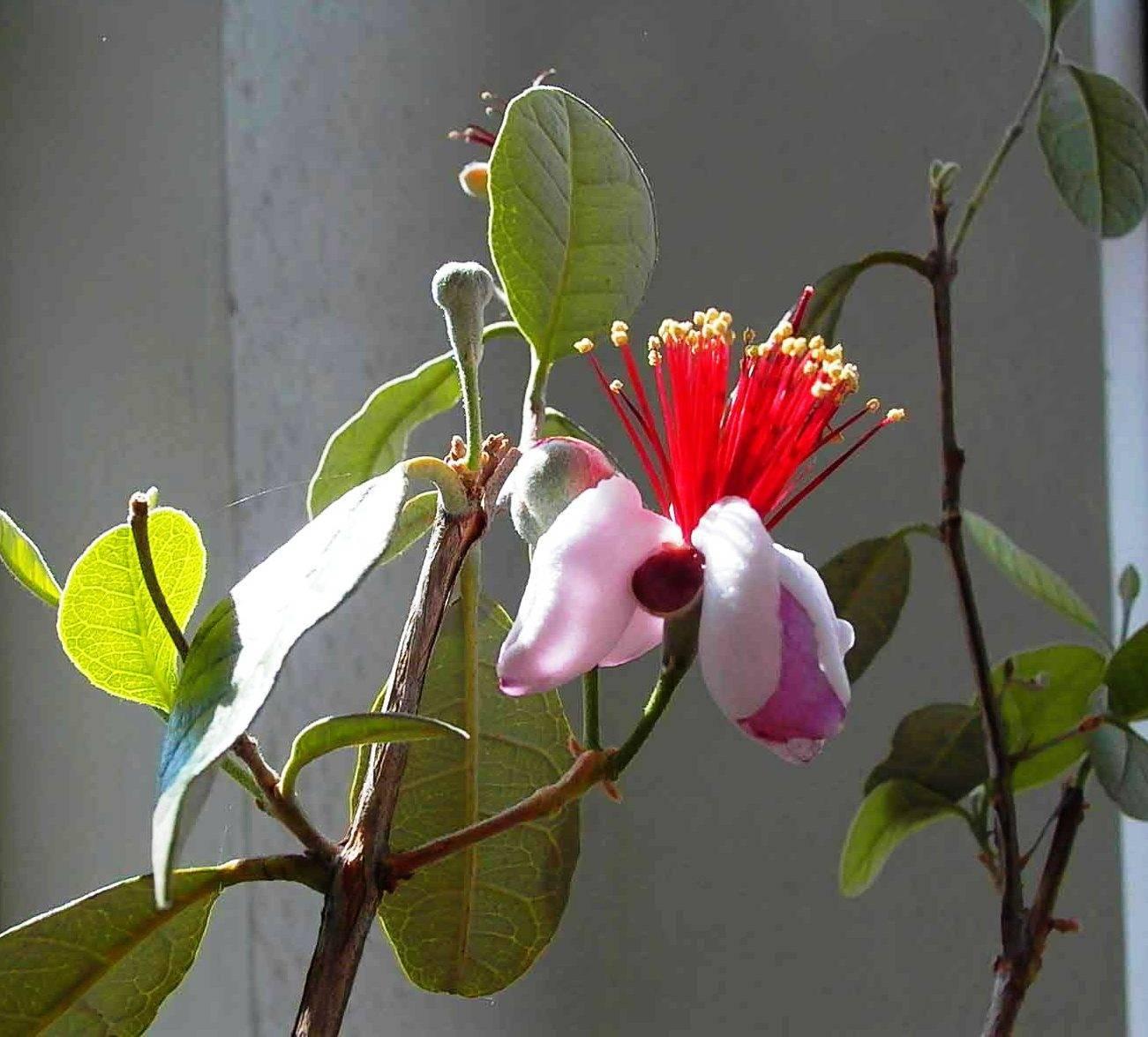 Экзотический фейхоа: выращивание в домашних условиях, в открытом грунте, как растет и цветет, размножение и фото