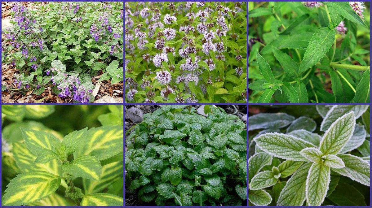 Мята: виды, как выглядят листья, где растет, чем отличается от мелиссы