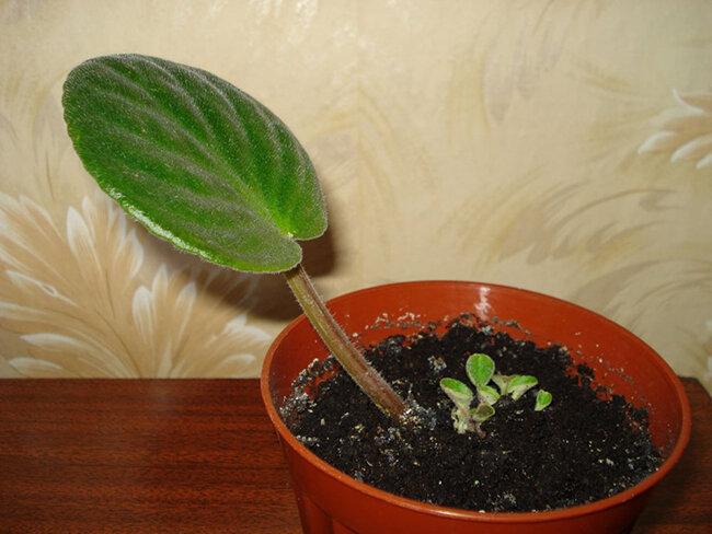 Выращивание фиалок