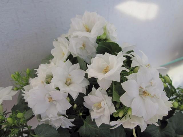 Кампанула махровая (43 фото): колокольчики «невеста» белого цвета, биколор и микс, «жених», уход и выращивание из семян