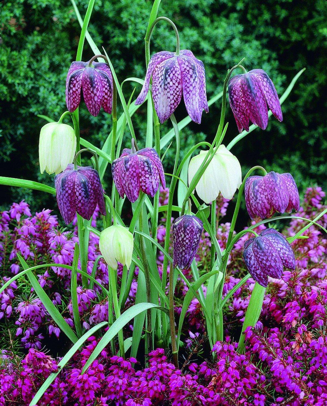 Растение рябчик: фото и описание цветов, посадка, уход и выращивание рябчиков, разновидности растений
