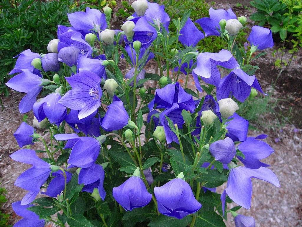 16 очаровательных цветов, похожих на колокольчики