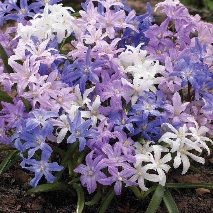 Хионодокса: выращивание и уход в открытом грунте