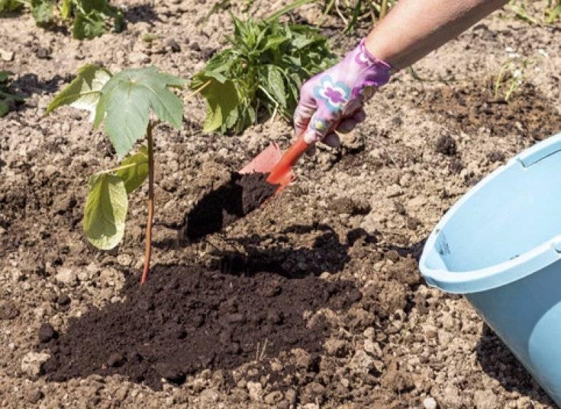Растение клещевина: посадка и уход, фото, выращивание из семян в открытом грунте