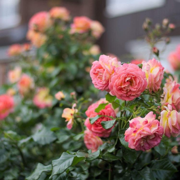 Розы патио и уход за розами патио в домашних условиях