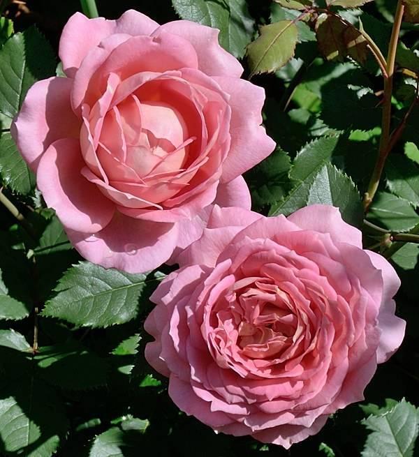 О розе джубили селебрейшн (jubilee celebration): описание и характеристики сорта
