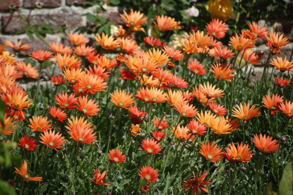 Густой куст капских маргариток в вашем саду: как выращивать остеоспермум из семян?