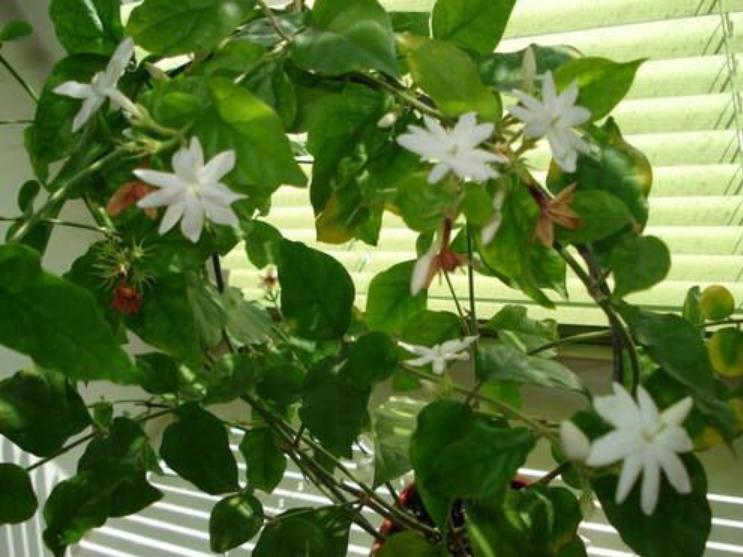 Комнатный жасмин – уход в домашних условиях, фото, размножение