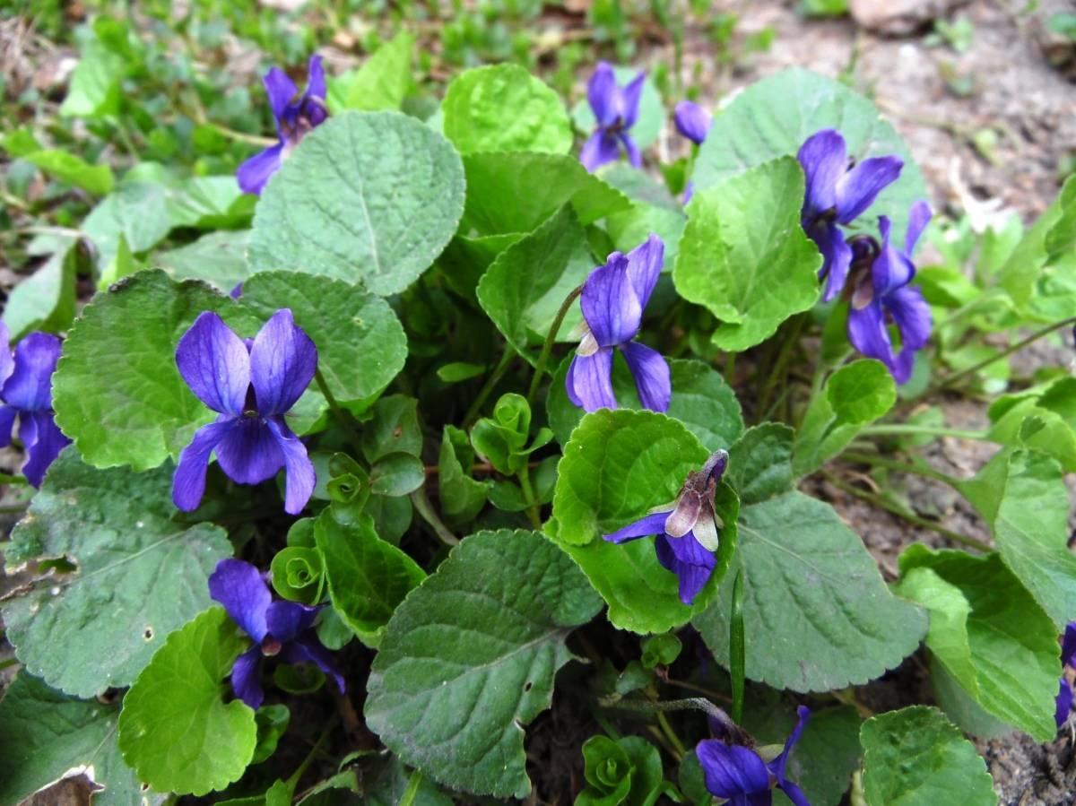 Прекрасная лесная фиалка: фото цветка и советы по выращиванию