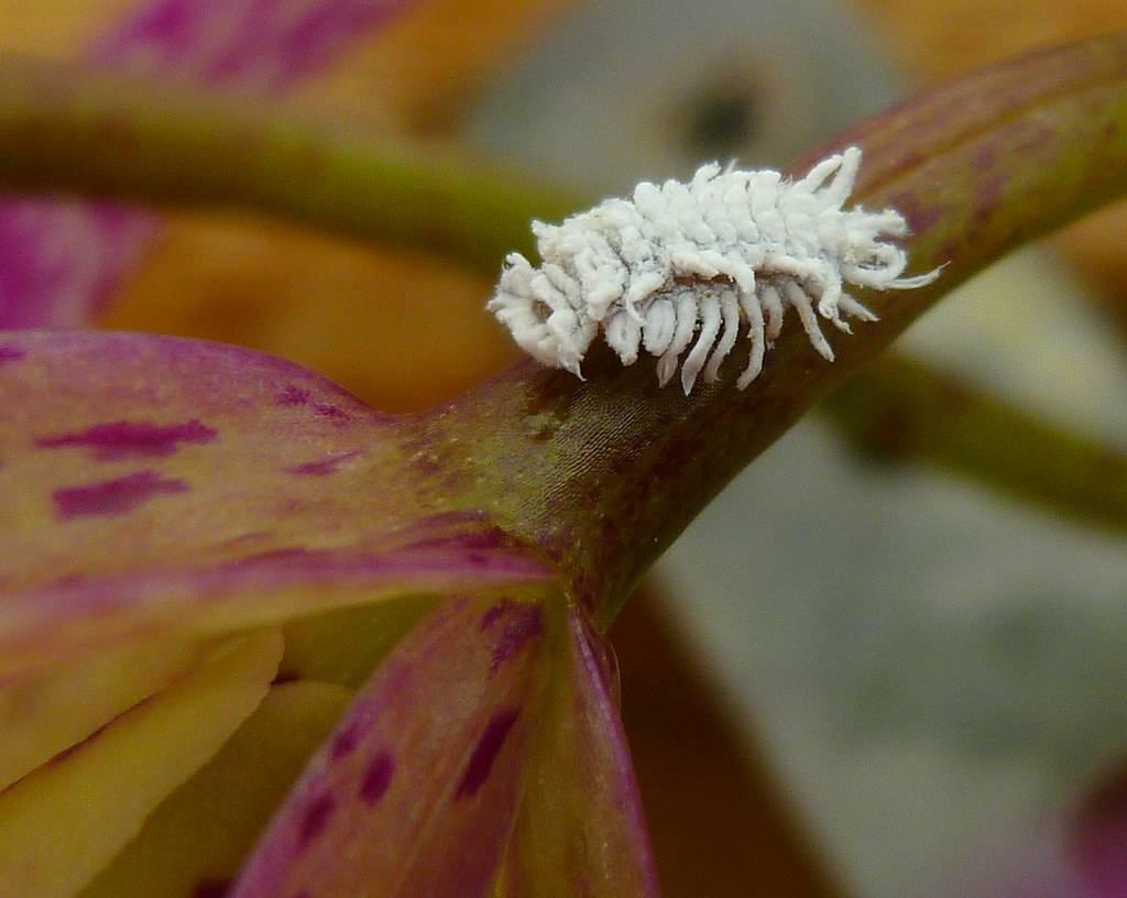 Белые жучки на орхидее: способы избавления от вредителей