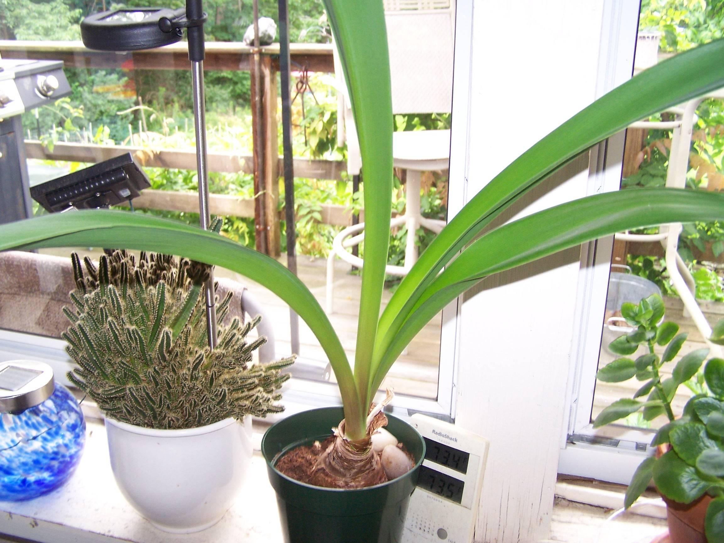 Гиппеаструм (55 фото): уход за цветком в домашних условиях. как он выглядит? как сажать комнатное растение? как подобрать грунт для гиппеаструма?
