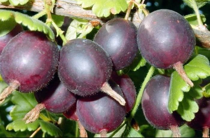 Гибрид смородины и крыжовника: как называется, характеристики и особенности фрукта (фото + видео)