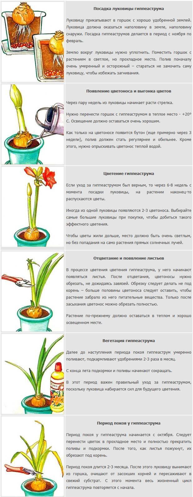 Уход в домашних условиях за гиппеаструмом