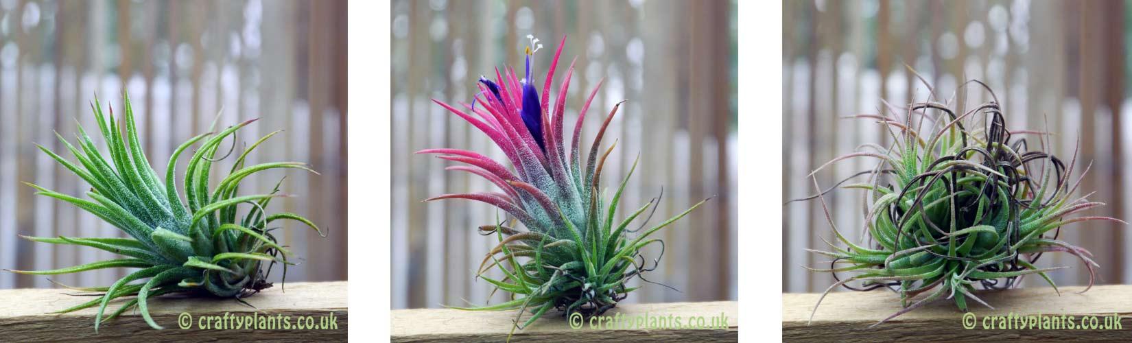 Цветок тилландсия анита: уход в домашних условиях