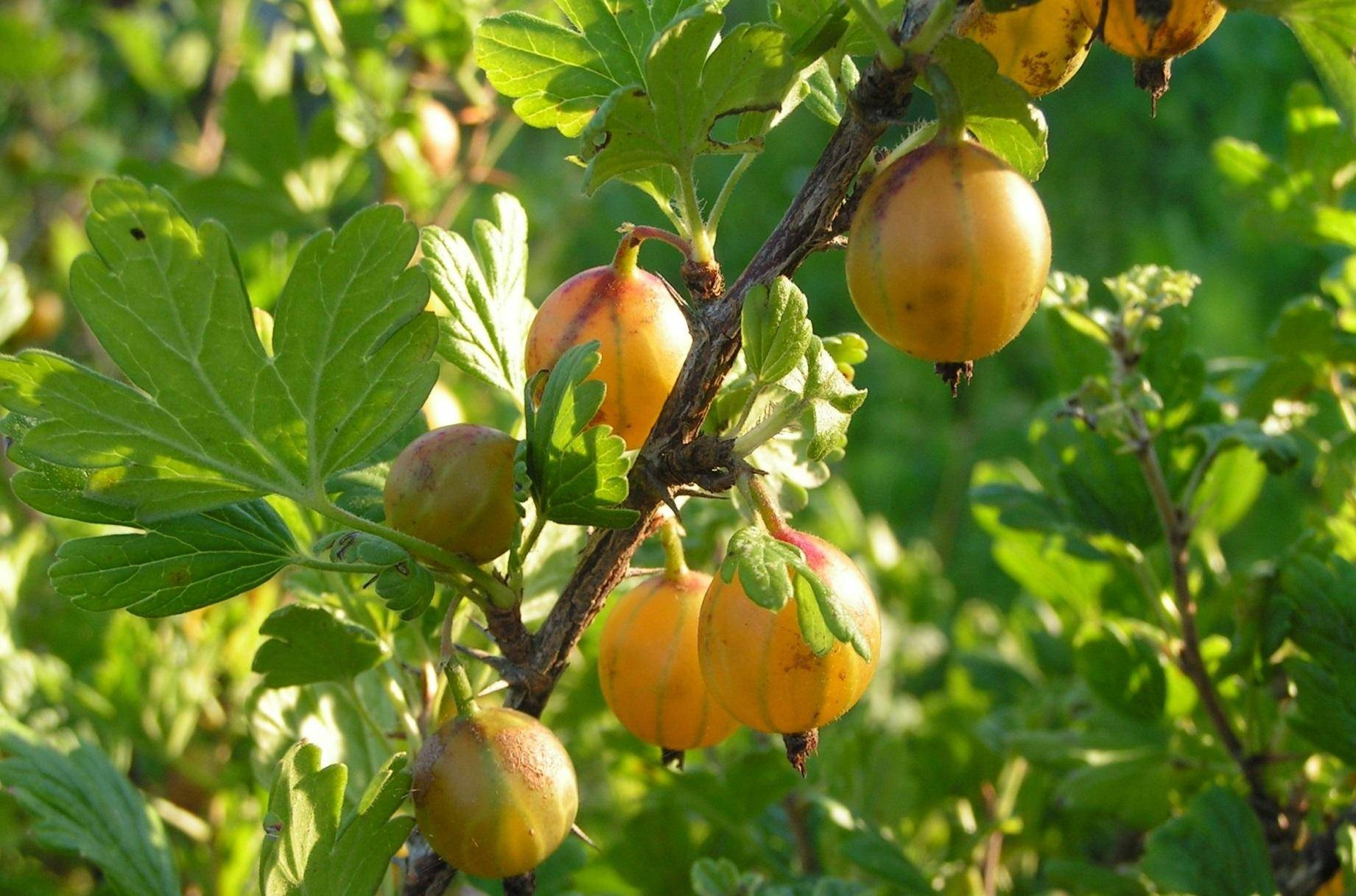 Крыжовник — шипованная ягода