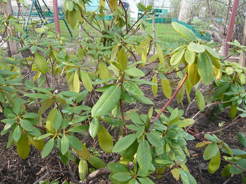 Основные причины, почему у рододендрона желтеют листья, бутон, стебель. как спасти растение?