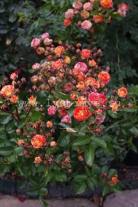 Lampion — миниатюрная роза разновидности флорибунда от немецких селекционеров tantau