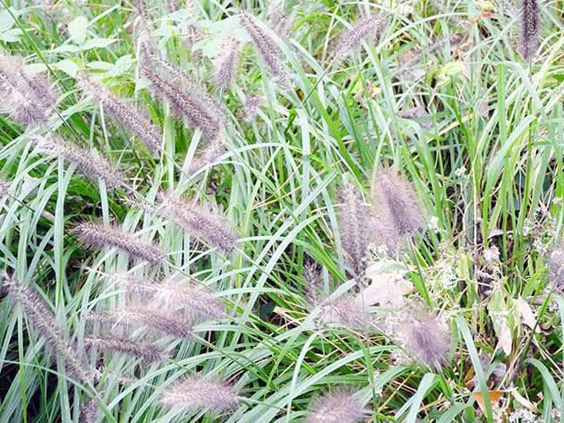 Пеннисетум moudry. pennisetum moudry
