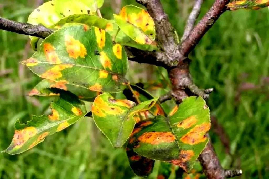 Почему у декабриста мягкие и вялые листья?