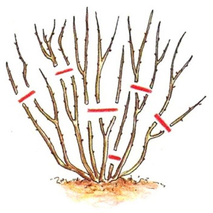 Когда обрезать жасмин садовый после цветения и как правильно сформировать куст