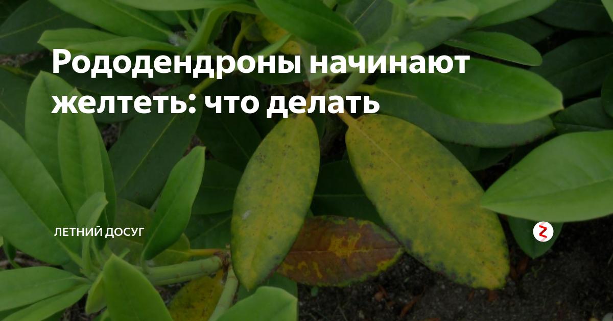 Что делать с рододендроном после цветения: как правильно ухаживать