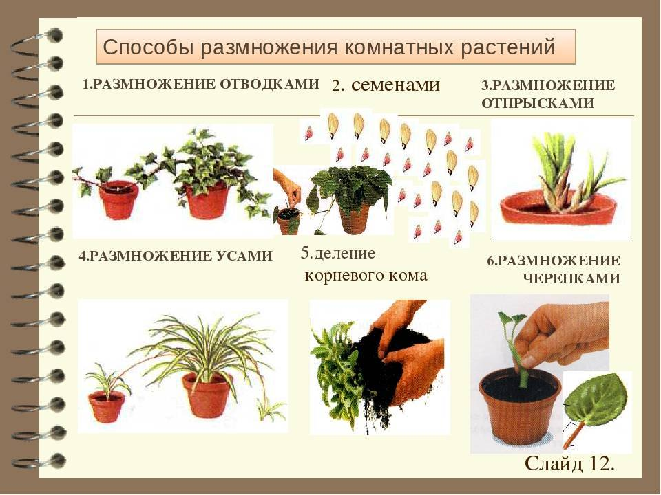 Гастерия в доме: основные виды, примеры ухода и способы размножения цветка