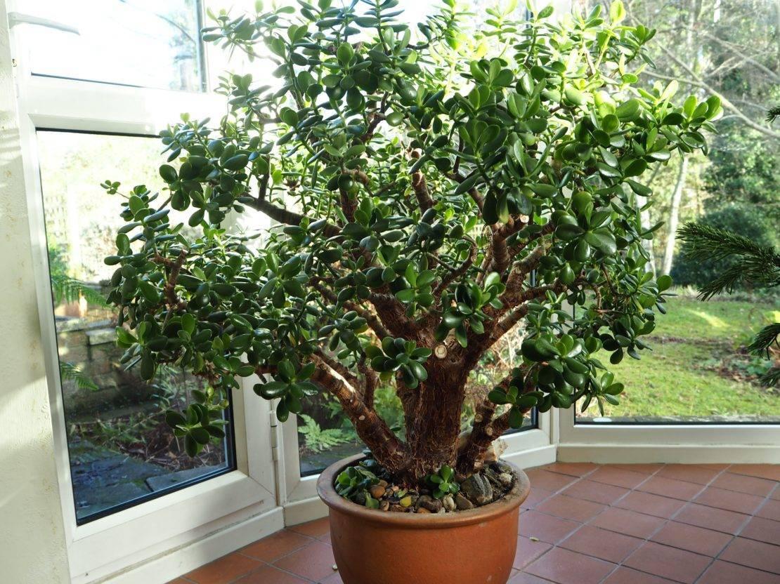 Можно ли держать цветок денежное дерево в квартире, куда поставить по фен-шуй