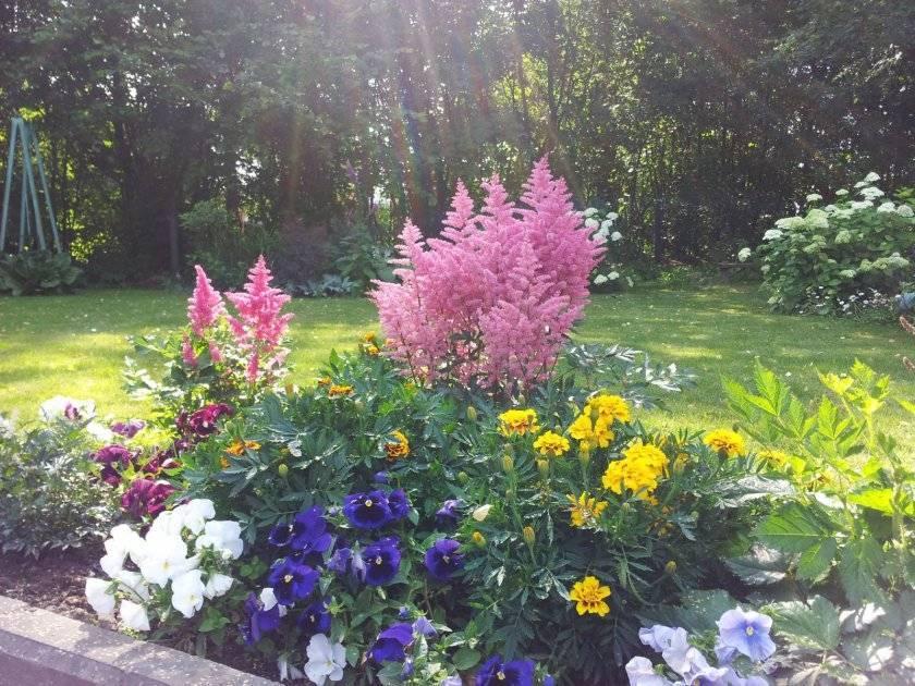 Посадка астильбы: как правильно посадить астильбу? лучше сажать на солнце или в тени? как рассадить весной на даче в открытый грунт? на каком расстоянии сажать цветы друг от друга?