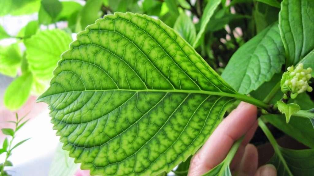 Хлороз гортензии метельчатой или крупнолистной — что делать и чем лечить