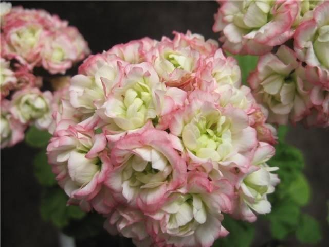 О пеларгонии denise sutarve (дениз сутарве): описание сорта, уход, выращивание
