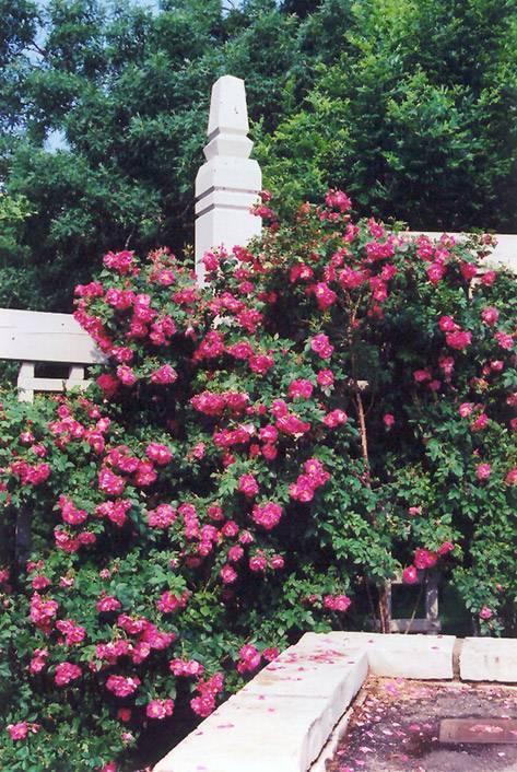 Роза уильям баффин энциклопедия роз