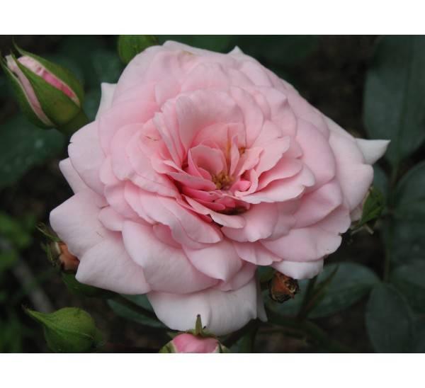 Чайно-гибридная роза августа луиза: описание сорта, фото, отзывы о выращивании