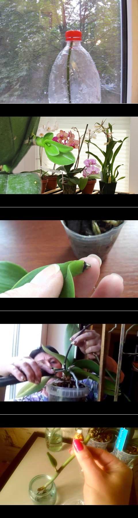Способы размножения орхидей дома: как рассадить черенками, цветоносом, листом