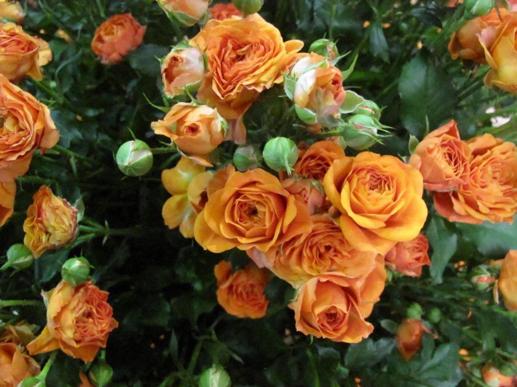 Оранжевые розы — описание лучших сортов