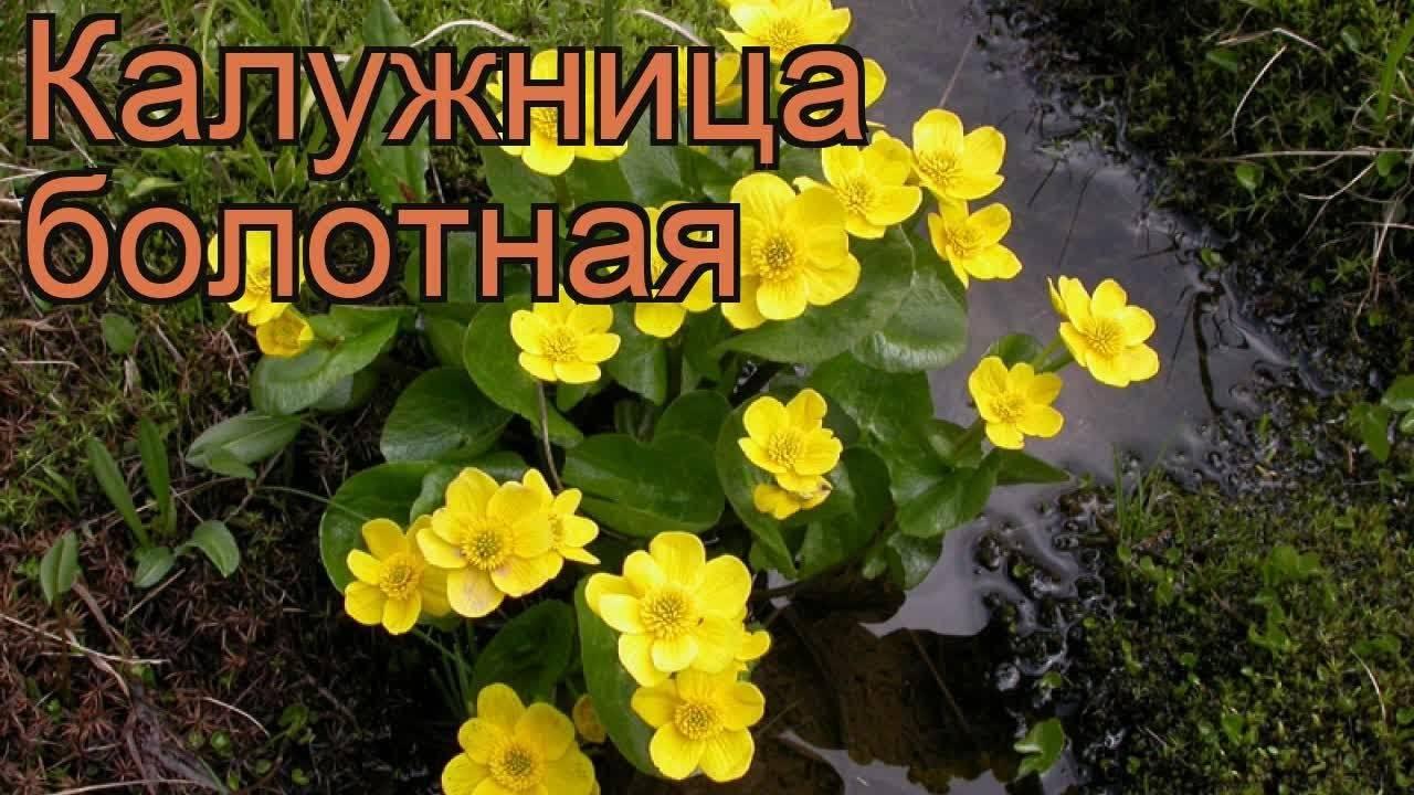 Калужница болотная: посадка и уход за цветком