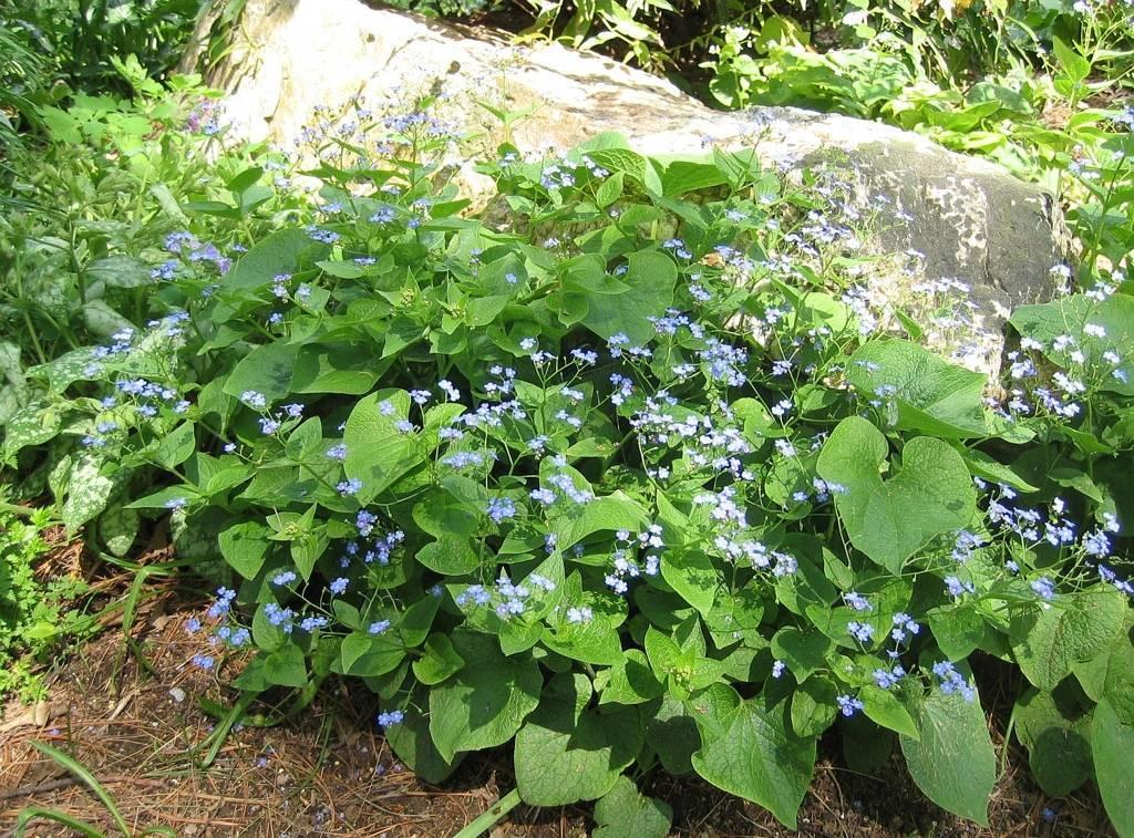 Бруннера описание, сорта бруннеры крупнолистной посадка, выращивание и уход.