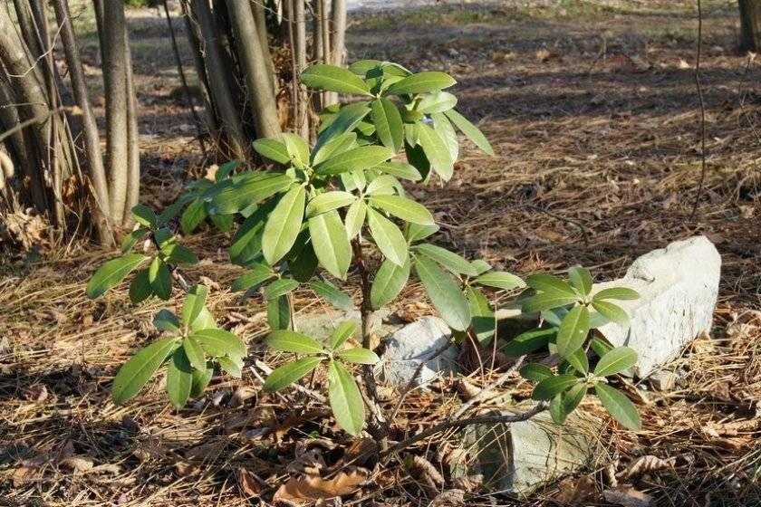 Рододендрон хеллики: описание