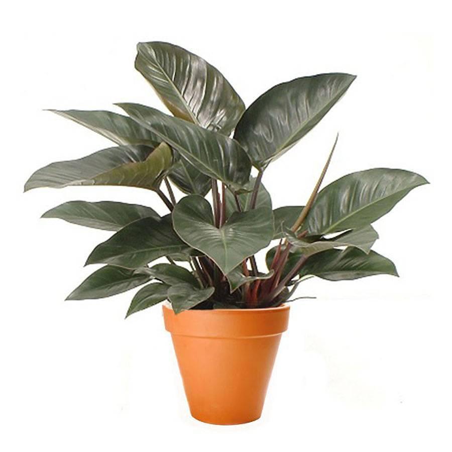 Декоративно-лиственные комнатные растения для дома