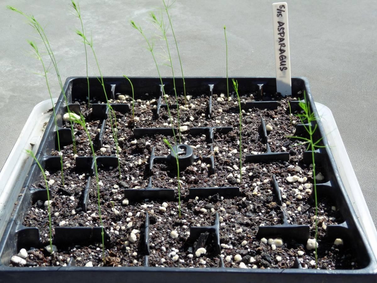 Немезия выращивание из семян