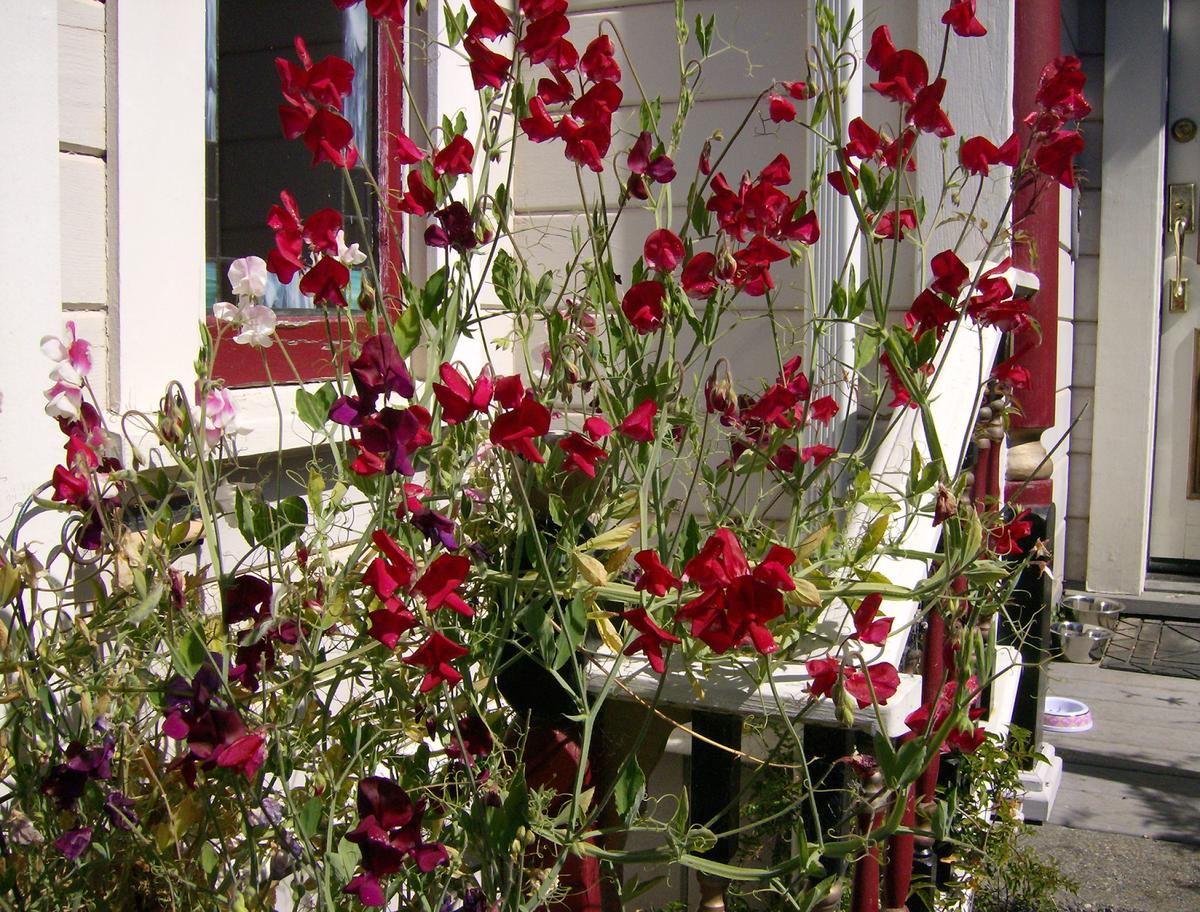 Настурция: как вырастить лечебное растение в домашних условиях
