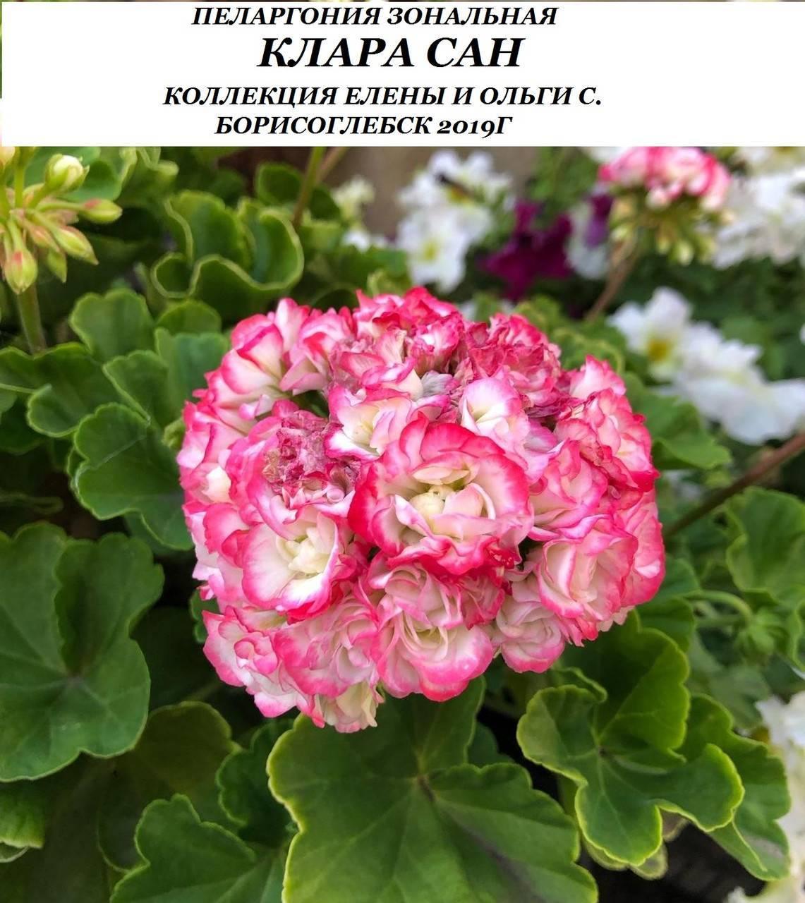 Пеларгония клара сан: описание внешнего вида, уход и размножение, а также болезни и вредители