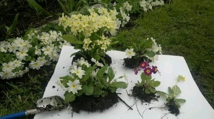 Пересадка примулы: когда лучше сделать, весной или осенью, как произвести деление, как ухаживать за растением, какие заболевания возможны у цветка?