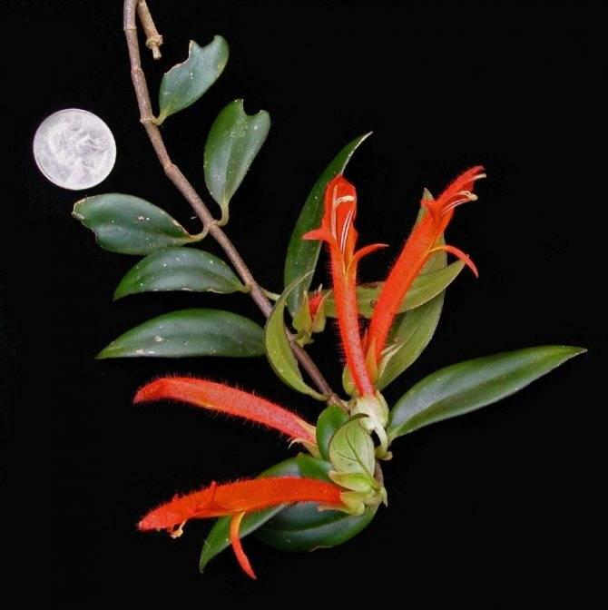Колумнея (columnea). правила ухода, виды, период покоя.