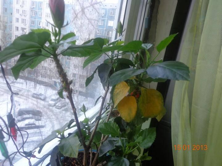 Желтеют и опадают листья у китайской розы: причины и лечение